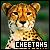 Cheetahs:
