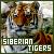 Siberian Tiger: