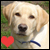 Yellow Labrador Retrievers:
