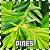 Pine Trees: