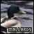 Mallard Ducks: